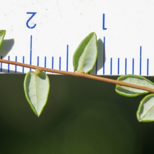 Photographie n°2242896 du taxon Vaccinium microcarpum (Turcz. ex Rupr.) Schmalh. [1871]