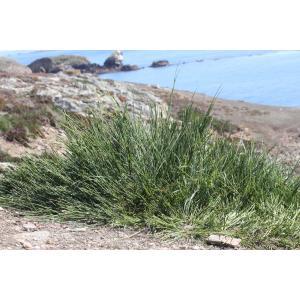 Cytisus scoparius subsp. maritimus (Rouy) Heywood (Cytise maritime)