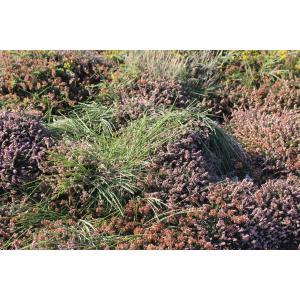 Sarothamnus scoparius subsp. maritimus (Rouy) Ulbr. (Cytise maritime)