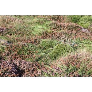 Cytisus scoparius var. prostratus (C. Bailey) A.B.Jacks. (Cytise maritime)