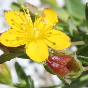 Photographie n°2243139 du taxon Hypericum humifusum L. [1753]