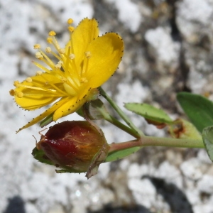 Photographie n°2243142 du taxon Hypericum humifusum L. [1753]