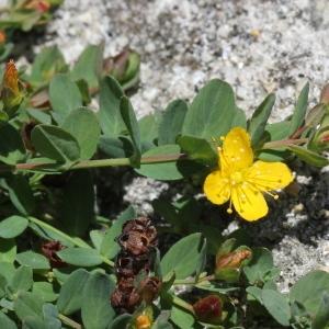 Photographie n°2243143 du taxon Hypericum humifusum L. [1753]