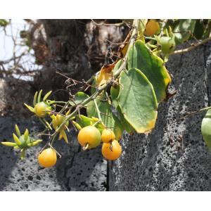 Pereskia aculeata Mill. (Barbados gooseberry)