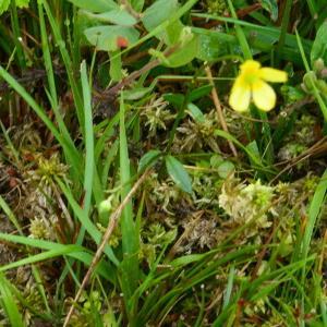 Photographie n°2243321 du taxon Ranunculus flammula L. [1753]