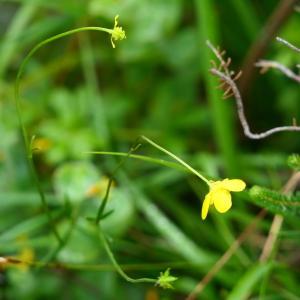 Photographie n°2243323 du taxon Ranunculus flammula L. [1753]