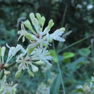 Photographie n°2243355 du taxon Smilax aspera L. [1753]
