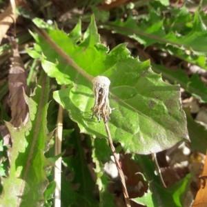 Photographie n°2243431 du taxon Crepis sancta (L.) Bornm. [1913]
