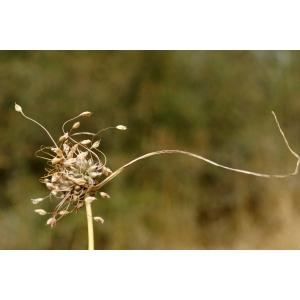 Allium flexum Waldst. & Kit.