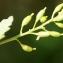 Liliane Roubaudi - Rorippa palustris (L.) Besser [1821]