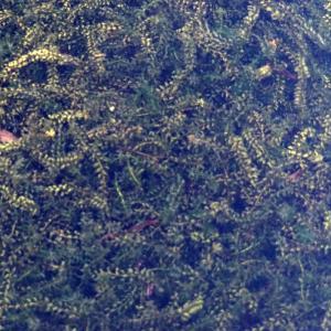 Photographie n°2244209 du taxon Elodea canadensis Michx.