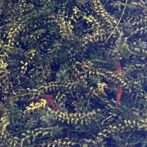 Photographie n°2244212 du taxon Elodea canadensis Michx.