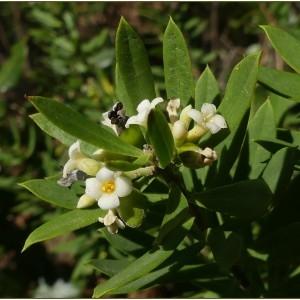 Photographie n°2244418 du taxon Daphne gnidium L. [1753]