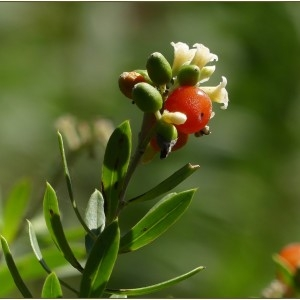 Photographie n°2244419 du taxon Daphne gnidium L. [1753]