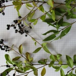 Photographie n°2244605 du taxon Ligustrum vulgare L. [1753]