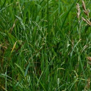 Photographie n°2244727 du taxon Bromus hordeaceus L. [1753]