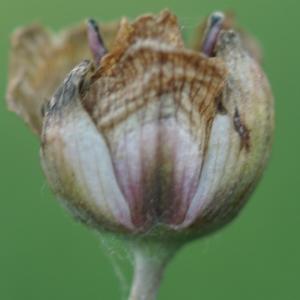 Photographie n°2244888 du taxon Butomus umbellatus L. [1753]