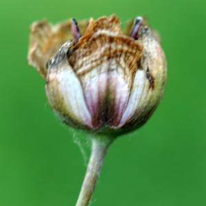 Photographie n°2244889 du taxon Butomus umbellatus L. [1753]