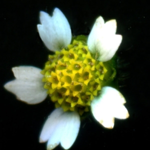 Photographie n°2245030 du taxon Galinsoga quadriradiata Ruiz & Pav. [1798]