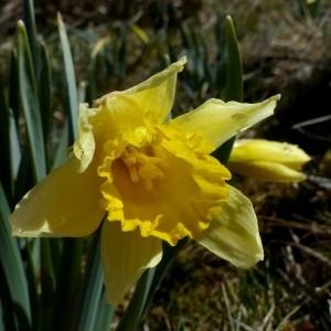Photographie n°2245243 du taxon Narcissus pseudonarcissus L. [1753]