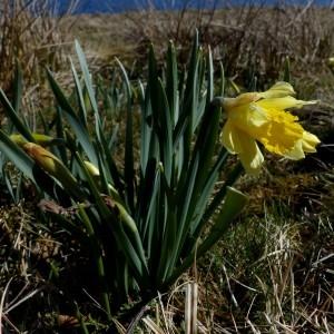 Photographie n°2245244 du taxon Narcissus pseudonarcissus L. [1753]