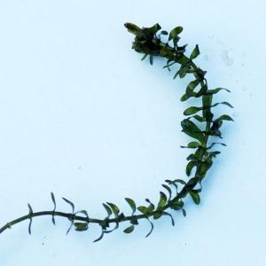 Photographie n°2245270 du taxon Elodea canadensis Michx.