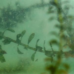 Photographie n°2245276 du taxon Elodea canadensis Michx.