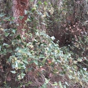 Photographie n°2245286 du taxon Smilax aspera L. [1753]