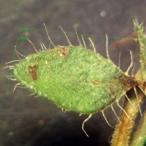 Photographie n°2245410 du taxon Thymus praecox Opiz [1824]