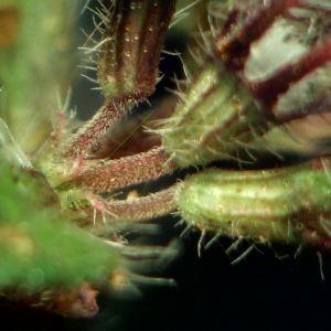 Photographie n°2245412 du taxon Thymus praecox Opiz [1824]