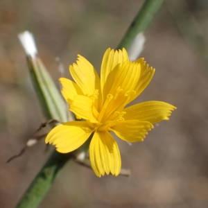 Photographie n°2245497 du taxon Chondrilla juncea L. [1753]