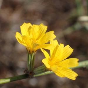 Photographie n°2245498 du taxon Chondrilla juncea L. [1753]