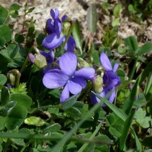 Photographie n°2245673 du taxon Viola hirta L.