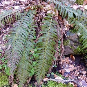 Photographie n°2245870 du taxon Polystichum aculeatum (L.) Roth [1799]