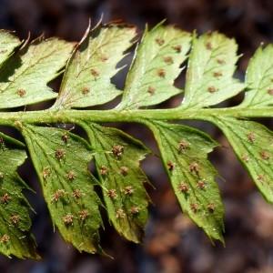 Photographie n°2245880 du taxon Polystichum aculeatum (L.) Roth [1799]
