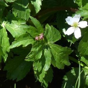 Photographie n°2245898 du taxon Ranunculus aconitifolius L. [1753]