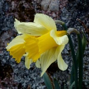 Photographie n°2245917 du taxon Narcissus pseudonarcissus L. [1753]
