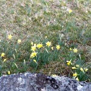 Photographie n°2245918 du taxon Narcissus pseudonarcissus L. [1753]