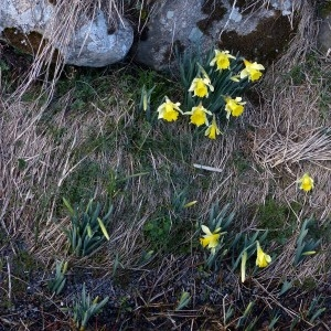 Photographie n°2245919 du taxon Narcissus pseudonarcissus L. [1753]