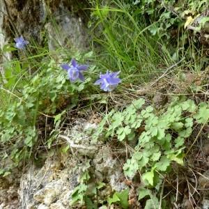 Photographie n°2246134 du taxon Aquilegia viscosa Gouan [1764]