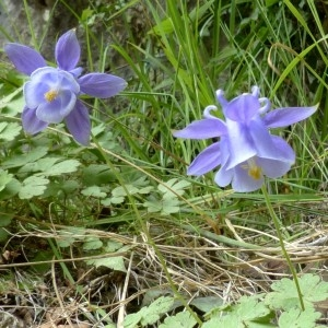 Photographie n°2246136 du taxon Aquilegia viscosa Gouan [1764]