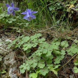 Photographie n°2246140 du taxon Aquilegia viscosa Gouan [1764]