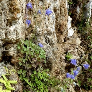 Photographie n°2246146 du taxon Aquilegia viscosa Gouan [1764]