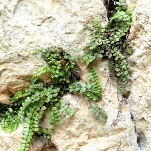 - Asplenium trichomanes subsp. pachyrachis (H.Christ) Lovis & Reichst. [1980]