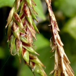Photographie n°2246177 du taxon Carex brachystachys Schrank