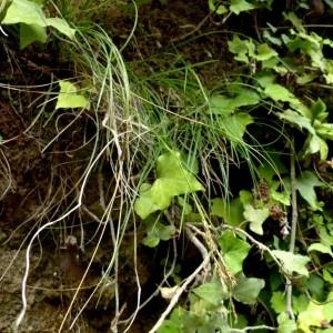 Photographie n°2246178 du taxon Carex brachystachys Schrank
