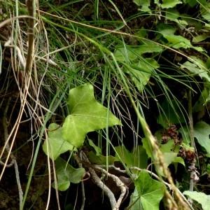 Photographie n°2246179 du taxon Carex brachystachys Schrank