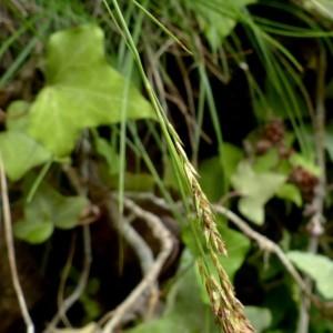 Photographie n°2246180 du taxon Carex brachystachys Schrank