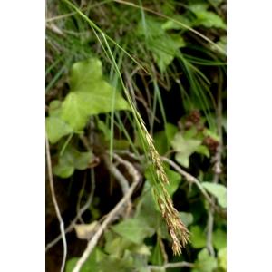 Carex brachystachys Schrank (Laiche à épis courts)