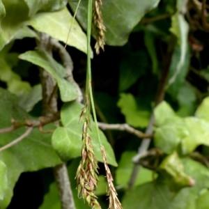 Photographie n°2246182 du taxon Carex brachystachys Schrank